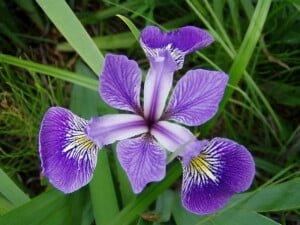 Iris_versicolor_3